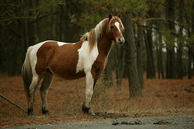 wild-ponies-748675_640
